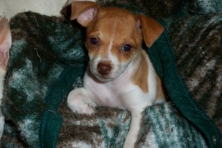 Rat Terrier puppy